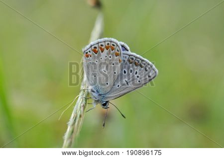 Aricia agestis, Brown Argus on wild grass.  Polyommatus icarus, Common Blue butterfly