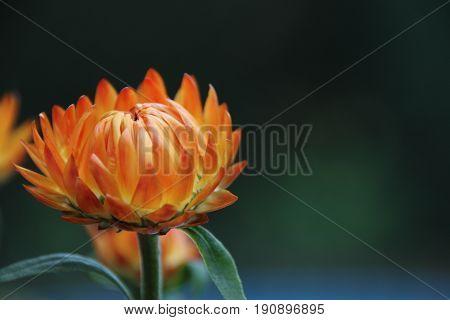 Orange rotes Strohblumen Boquet mit blauem Hintergrund