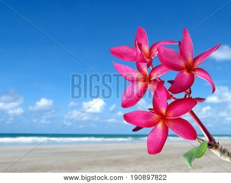 close-up red pink plumeria or frangipani flowers blooming with sand beach and bright blue sky background, colorful tropical flower are fragrant and bloom in summer, idyllic scenic nature background
