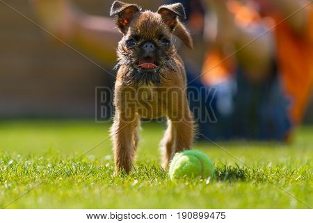 A dog of the Brussels Griffon breed stands on a grassy clearing
