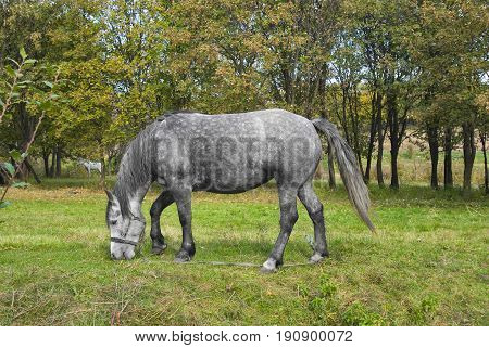 Grazing dappled mare on a fall pasture.