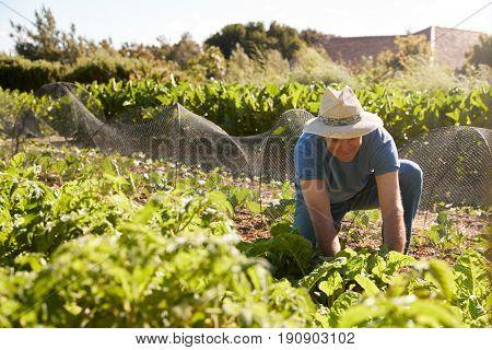 Mature Man Harvesting Beetroot On Community Allotment