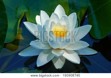 Water Lily On A Lake