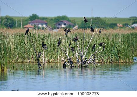 Group Of Cormorants In A Tree