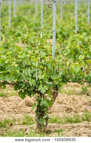 Unripe Vineyard In Early Summer
