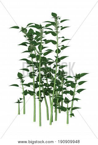 3D Rendering Urtica Dioica Or Nettle On White