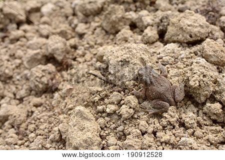 Small Brown Common Toad With Warty, Dry Skin