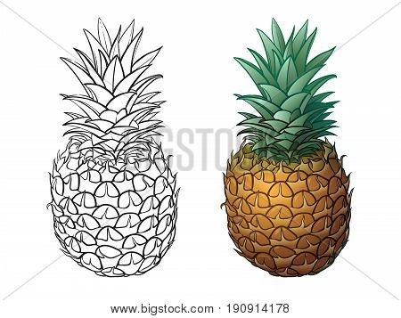 Hand drawn pineapple plus color. Vector illustrations on white background. Sketch pineapple monochrome and colored