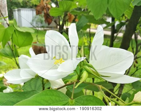 White flower, dwarf white bauhinia, white orchid-tree or snowy orchid-tree