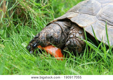 Tortoise Eating Tomato