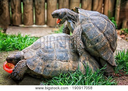 Mating Tortoises