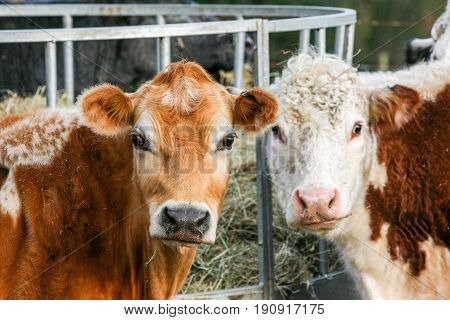 Two Cows Looking At The Camera In A Farmers Field
