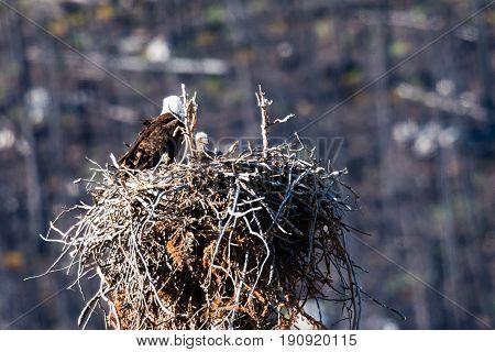 Wild Bald Eagles on the nest Jasper National Park