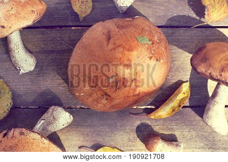 Fresh edible mushrooms lie on the table top view / inspection of forest trophies