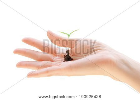 Woman hand holding small green seedling. Isolated on white clipping path included