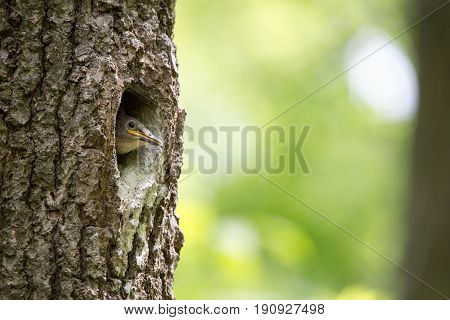 Nuthatch nestling waits for feeding in oak hollow. Forest bird Sitta europaea or Eurasian nuthatch or Wood nuthatch on the nest