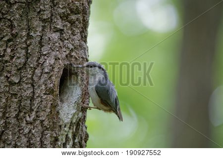 Nuthatch near the nest in hollow of the oak. Forest passerine bird Sitta europaea at spring