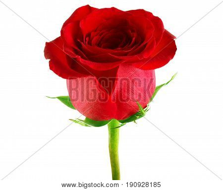 red rose on a white background Rote, Rosen, Rosso, Rosas, Roja