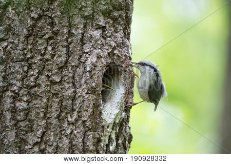 Bird Nuthatch moves along tree trunk nestling waits for feeding in hollow of the oak