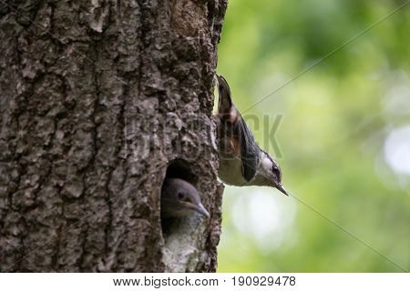 Adult bird Nuthatch sits near the young nestling on vertical tree trunk. Forest passerine bird Sitta europaea at spring