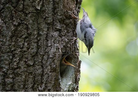 Nuthatch nestling ask for feeding. Adult birds guard their nest and feeds chicks