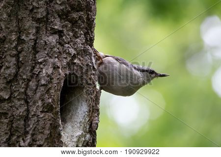 Bird on green background. Nuthatch sits on tree bark near the nest and look around. Sitta europaea at spring