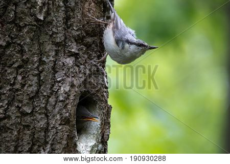 Nuthatch look around guards the nestlings. Passerine bird Sitta europaea near the nest on green background