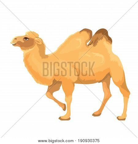 Vector illustration of camel isolated on a white background