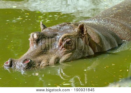 Image of a large mammal of a wild animal hippopotamus in water