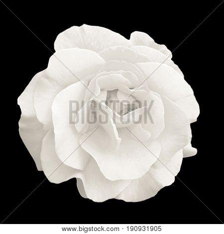 Tender White Rose Flower Macro Isolated On Black