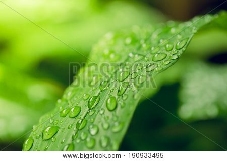 Greenery is colour of the year 2017 After the rain drop on the leaf. freshness abstract greenery background Trendy color concept is selective focus to blur background and effect filter.