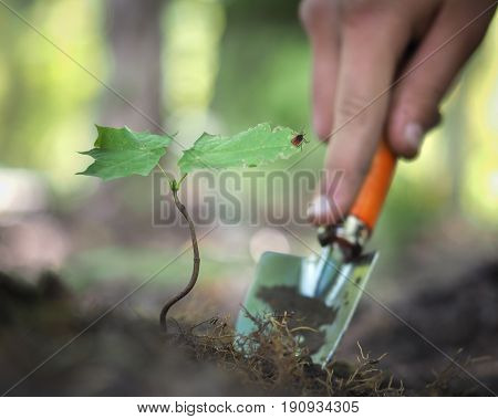 The hand with the garden tool. The plant in the ground. On leaves of tick encephalitis. The danger of a bite in the nature