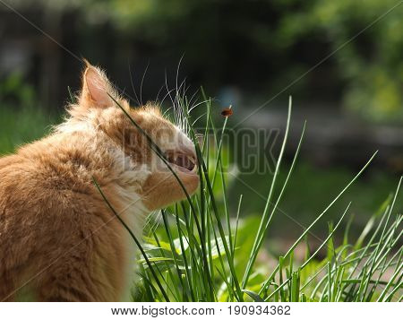 cat eats grass. The blade of grass crawling tick encephalitis. A dangerous insect a carrier of the disease