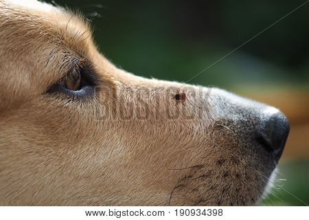 Tick encephalitis on the nose of the dog. A dangerous insect a carrier of the disease
