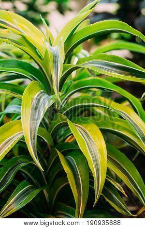 Green Leaves Of Plant Dracaena. Female Dragon Plant. Family Asparagaceae, Subfamily Nolinoideae