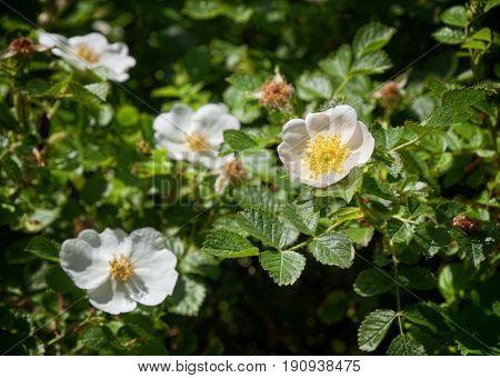 wild rose in Nebrodi Park, Sicily