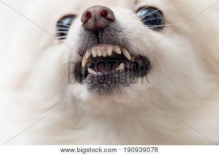 White pomeranian dog barking close up