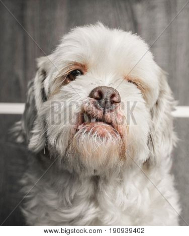 Portrait Of A White Lhasa Apso Dog On A Wooden Background