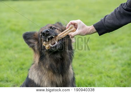 Big Dog Taking A Treat Bone From His Owner