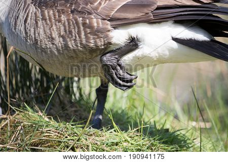Canada Goose Stood On One Leg