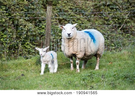 Mother Ewe Sheep And Her Lamb Stood In A Field
