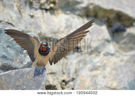Swallow, Hirundo rustica on rock