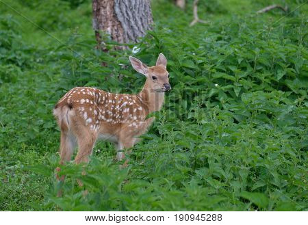 Young Sika deer in summer in forest on green grass