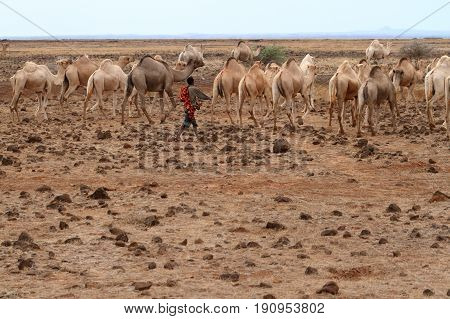 Camels and dromedaries in the north of Kenya