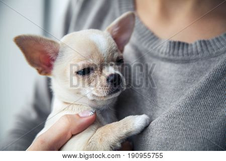 chihuahua puppy in the hands of a girl with a nice manicure. a