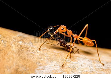 Close up Red ant killing bite and drag black ant to eat. friend help support each other drink don't drive take friend home winner and loser concept