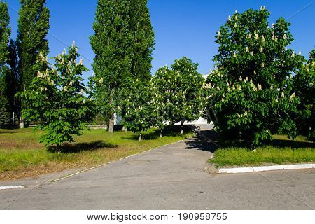 Blooming chestnut trees in a city park