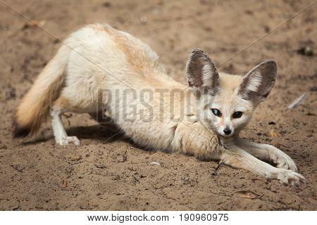Fennec fox (Vulpes zerda). Wildlife animal.