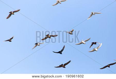 flock of pigeons on blue sky . A photo