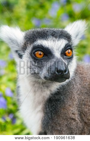 Ring-tailed lemur aka Lemur catta face close up portrait on green background